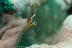 BD-151226-Dauin-0353-Thor-amboinensis-(de-Man.-1888)-[Sqat-anemone-shrimp].jpg